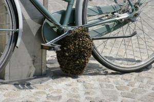 Honeybee swarm on a bicycle.