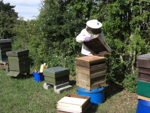 Beekeeper with National hive and bees.