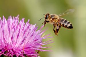 Honey bee in purple flower