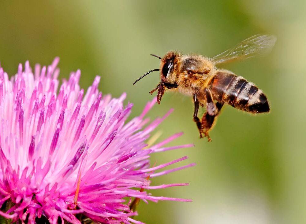 honeybee-in-flight-landing-on-a-pink-flower