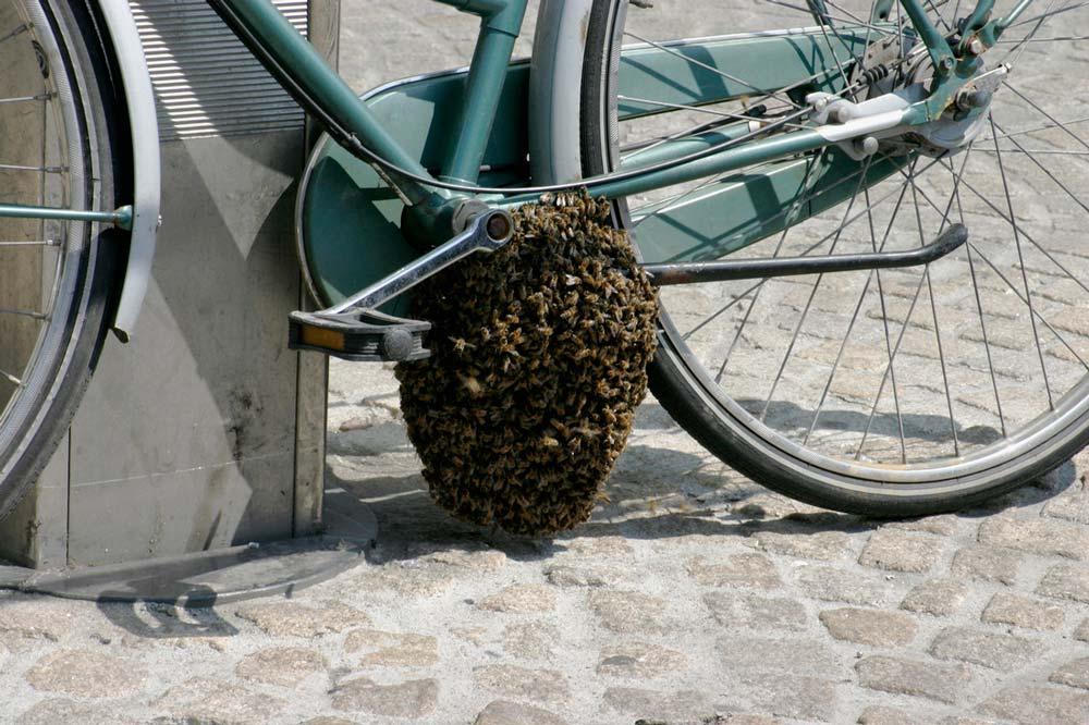 honeybee-swarm-on-a-bicycle